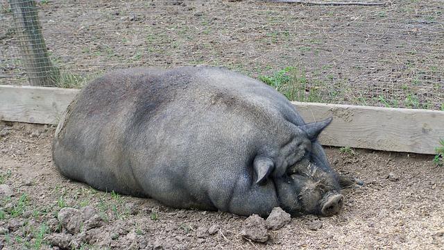 pig-1548310_640